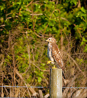 Red Shouldered Hawk on fence post, standing on one leg with one leg in air
