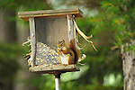Moosehead Lake, ME. Red squirrel on bird feeder.