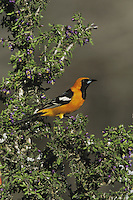 Hooded Oriole (Icterus cucullatus), male perched on blooming Guayacan (Guaiacum angustifolium), Starr County, Rio Grande Valley, Texas, USA