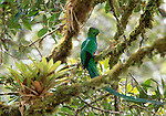 Inhabiting higher layers of Panamanian rainforest, the resplendent quetzal, was considered a sacred bird by ancient Mayan and Aztec civilizations.
