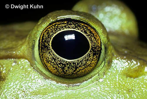 FR08-008e  Bullfrog - close-up of eye - Lithobates catesbeiana, formerly Rana catesbeiana