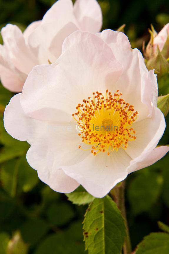 Rosa macrantha, rosier à grosses fleurs // Rosa macrantha