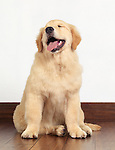 Cute Golden Retriever four month old puppy