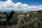 Guide hikes with pack llamas over Flattop Mountain in Rocky Mtn. NP at the Continental Divide on a summer day in July, high in the Colorado Rocky Mountains