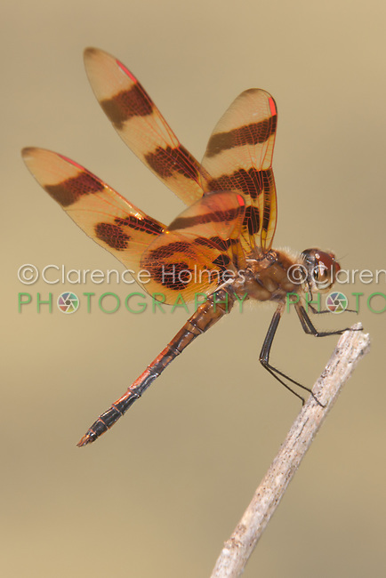 Halloween Pennant (Celithemis eponina) Dragonfly - Male, Somerset County, New Jersey