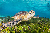 green sea turtle, Chelonia mydas, resting on seagrass bed, Bird Island, Seychelles, Indian Ocean