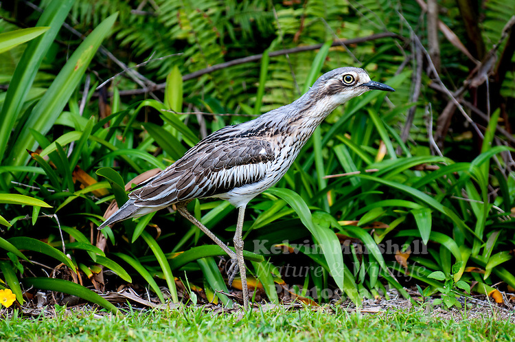 Bush stone-curlew or bush thick-knee (Burhinus grallarius), obsolete name Burhinus magnirostris) is a large (55-60cm wingspan), ground-dwelling bird endemic to Australia. Although it looks rather like a wader and is related to the oystercatchers, avocets and plovers, it is a terrestrial predator filling an ecological niche similar to that of the roadrunners of North America.