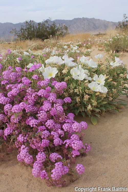 sand verbena and desert primrose at Joshua Tree National Park