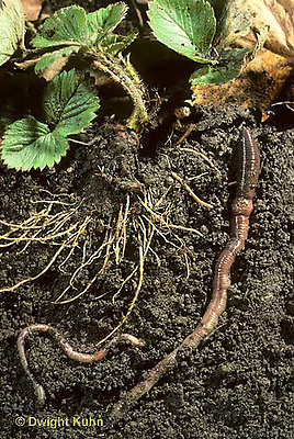 1Y05-018x  Earthworm - crawling through soil