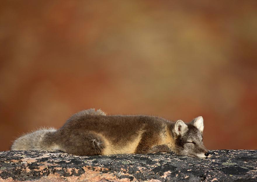 Artic Fox; discobay; Greenland; Vulpes lagopus