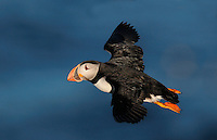 An atlantic puffin in flight with the Atlantic Ocean in the background.