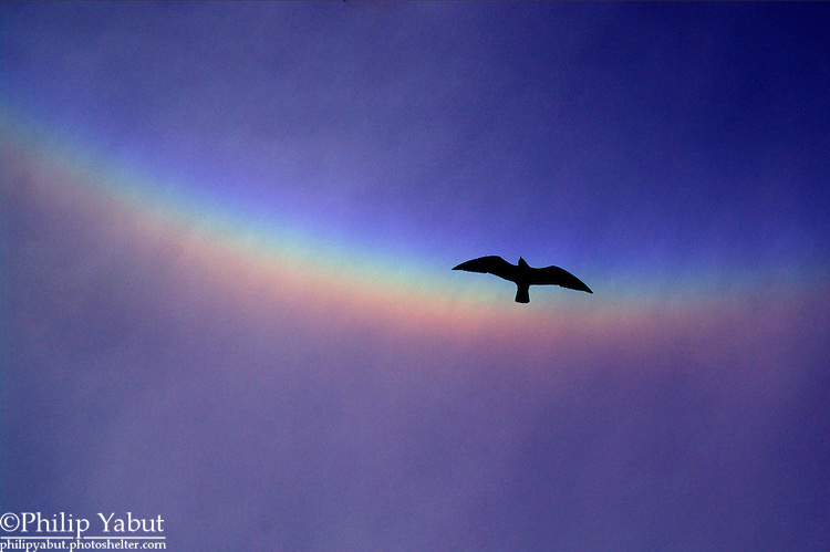 A gull flies under a rare circumzenithal arc (a high-altitude ice halo, not a rainbow) at Constitution Gardens.  The halo blazed brightly for only about 10 minutes before clouds swallowed it up.