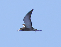 Juvenile sooty tern