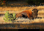 Bison Resting at Sunrise, Norris Junction, Yellowstone National Park, Wyoming