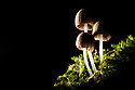 Trooping Crumble Cap {Coprinus disseminatus} growing on a moss-covered tree stump, Peak District National Park, Derbyshire, UK.