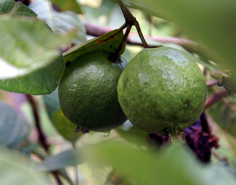 Close up [macro] of two medium-green and light-green round, rough, thick-surffaced fruit growing on a tree in Thailand. A water-drop just ready to fall is on one of the fruits and two drops are on the other. It is believed the fruit is the Makrut lime also known as a Kaffir Lime.