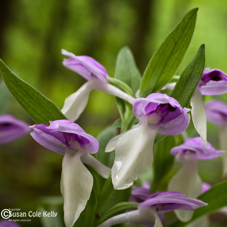 Showy Orchis, Great Smoky Mountains National Park, TN, USA