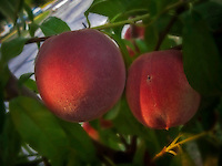Fresh peaches on a neighborhood peach tree.