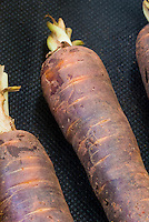 Carrot 'Cosmic Purple' root vegetable unusual color, orange with purple haze overlay