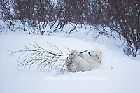 01874-13511 Polar Bear (Ursus maritimus) cub playing with willow branch, Churchill Wildlife Management Area, Churchill, MB