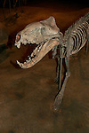 Hyaenodon sp., 35 million years, South Dakota