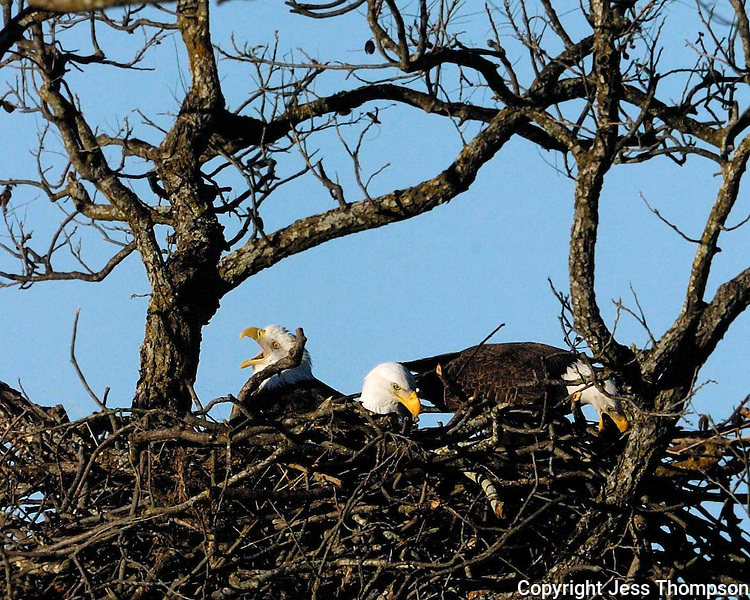 Three adult bald eagles in a cooperative nest, Llano, TX 2003-2007