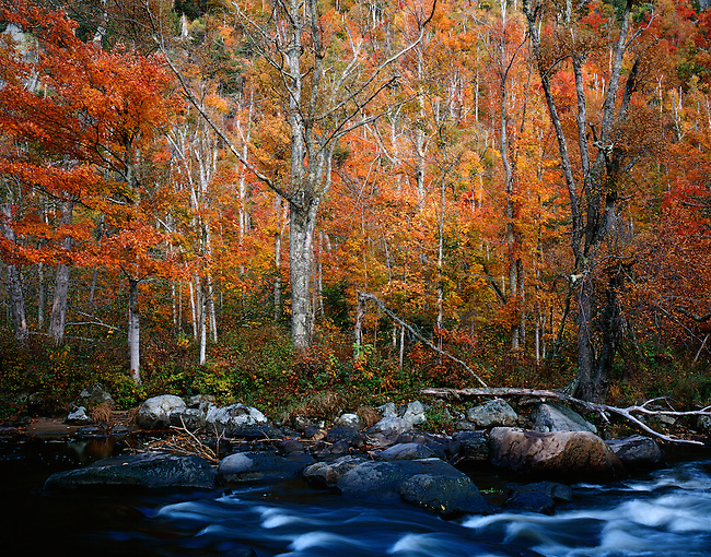 Birch; autumn; Ausable River; Adirondack State Park; New York