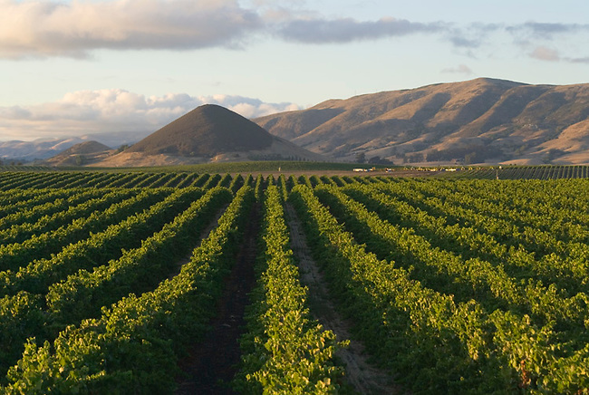 Vineyards near San Luis Obispo strech toward islay Hill, a local landmark.