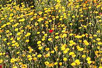Marigolds and poppy flowers, Varanasi, Northern India