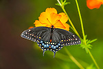 A Butterfly, The Black Swallowtail On An Orange Flower, Top Down View, Papilio polyxenes Fabricius, Southwestern Ohio, USA