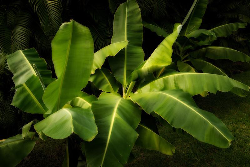 Banana tree. Mexico