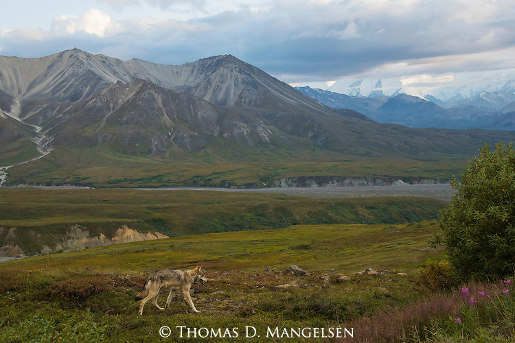 A solitary gray wolf from the Grant Creek pack crosses the tundra as the summer season transitions into autumn in Denali National Park, Alaska.