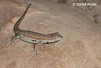0613-1005  Side-blotched Lizard, Uta stansburiana (syn. Uta antiqua or Uta stellata)  © David Kuhn/Dwight Kuhn Photography