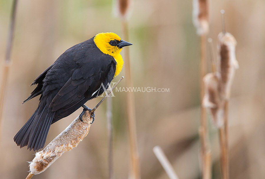 Yellow-headed blackbirds are a common sight in the wetlands of eastern Idaho.