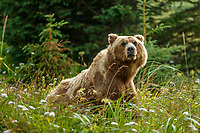 Alaska coastal brown (grizzly) bears sits in wildflowers and grass.  Lake Clark National Park Alaska.  Summer. <br /> <br /> Photo by Jeff Schultz/SchultzPhoto.com  (C) 2018  ALL RIGHTS RESERVED<br /> Amazing Views-- Into the wild photo tour 2018