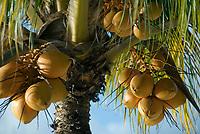 MUS, Mauritius, Trou aux Biches: Kokosnuesse | MUS, Mauritius, Trou aux Biches: coconuts