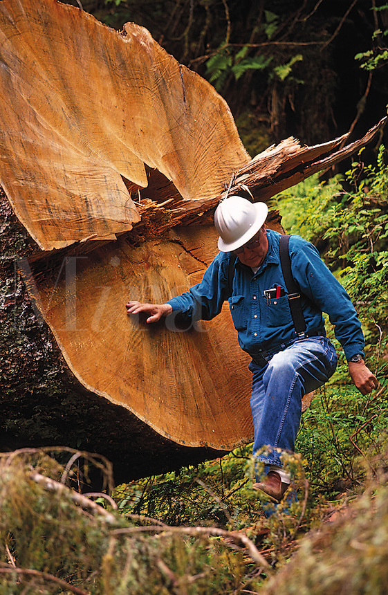 A logger in a hardhat climbs past the trunk of a cut tree. Alaska.