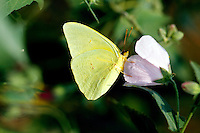 INSECTS<br /> Sulfur Butterfly<br /> Corolla, NC<br /> The Cloudless Sulphur is a small to midsized butterfly ranging from South America to southern Canada. The adult butterfly feeds on nectar from many different flowers with long tubes.