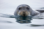 Norway, Svalbard, bearded seal swimming in fjord, Erignathus barbatus