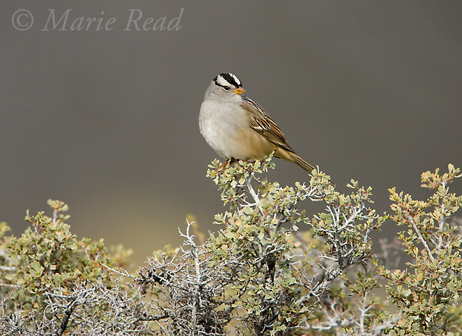White-crowned Sparrow (Zonotrichia leucophrys), perched on Bitterbrush (Purshia tridentata) in autumn, Mono Lake, California, USA