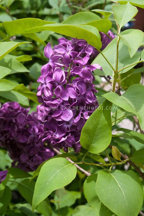 Syringa vulgaris 'Monge' hybrid flowering shrub lilac bush, reddish violet purple, fragrant single purple blooms