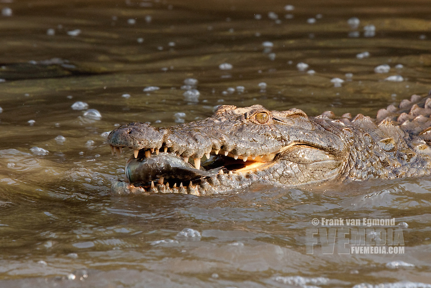 Nile Crocodile (Crocodylus niloticus)..The crocodiles gather where the stream narrows, waiting for fish to swim right into their mouths..Ndumo Game Reserve..Kwazulu-Natal, South Africa.