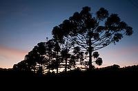 Camanducaia_MG, Brasil...Araucarias em uma paisagem rural em Monte Verde...Araucarias in the rural landscape in Monte Verde...Foto: LEO DRUMOND / NITRO.....