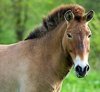 Przewalski's horse stallion Nikolai, 2009