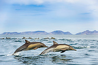 long-beaked common dolphin, Delphinus capensis, young, juveniles, Baja California, Mexico, Gulf of California aka Sea of Cortez, Pacific Ocean