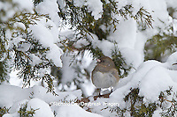 01569-01706 Dark-eyed Junco (Junco hyemalis) in Keteleeri Juniper tree (Juniperus chinensis 'Keteleeri') in winter, Marion Co., IL