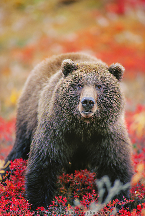 Female grizzly bear stands in autumn blueberry patch in Denali National Park, Alaska