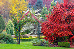 Vashon-Maury Island, WA: Autumn reds, yellows and burgandies in a fall garden with Japanese maple, climbing rose, varigated dogwood at Froggsong Gardens