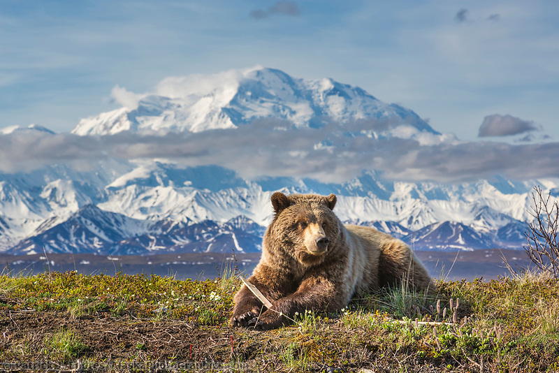 Young grizzly bear rests along the spring tundra in front of Denali, Denali National Park, Alaska.