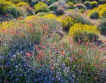 Anza-Borrego Desert State Park, CA: Red fllowering chuparosa (beloperone californica) and blue flowering phacelia (Phacelia distans) together with yellow flowering brittlebush (Encelia farinosa) in Glorieta Canyon